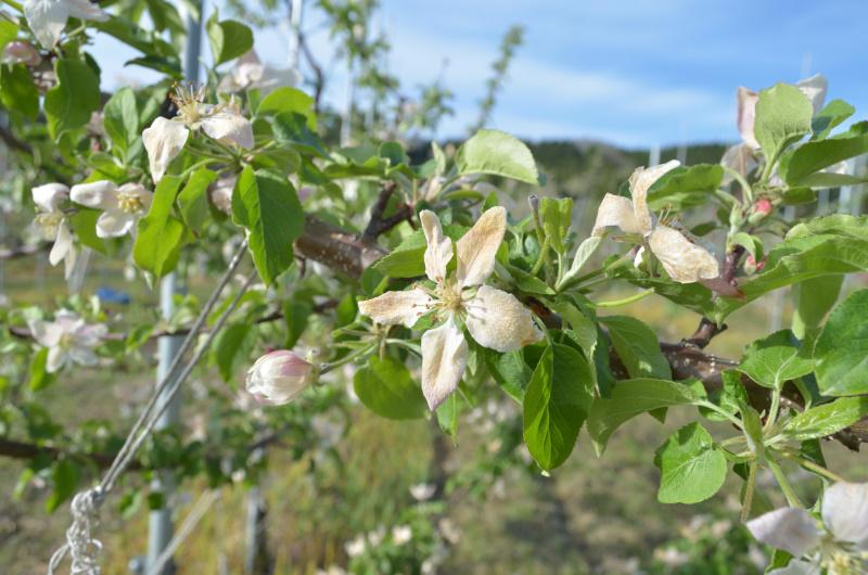 4月28日 遅霜で茶色に変色したリンゴの花