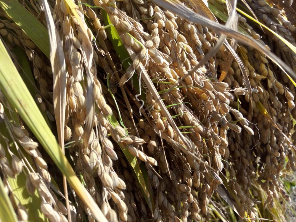 今年は発芽した籾が一部にありました