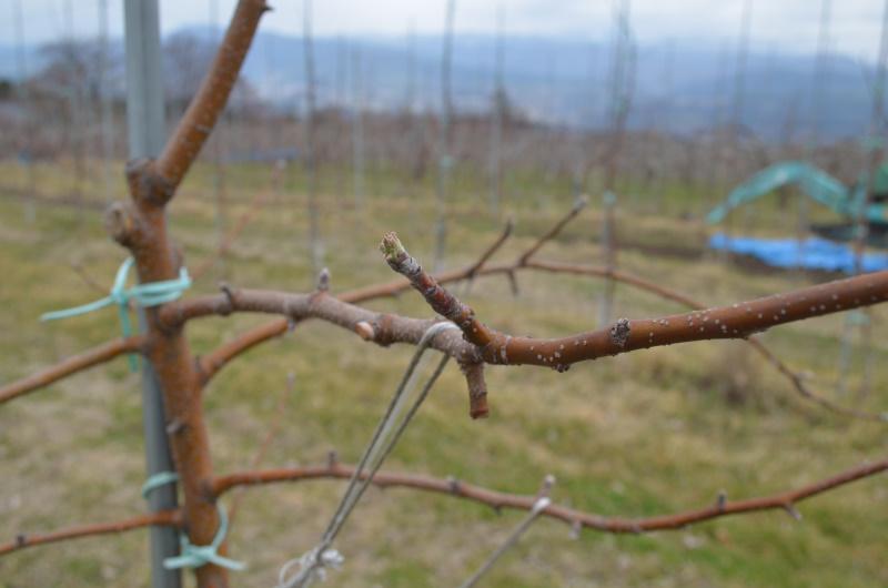 シナノリップ は3月25日発芽