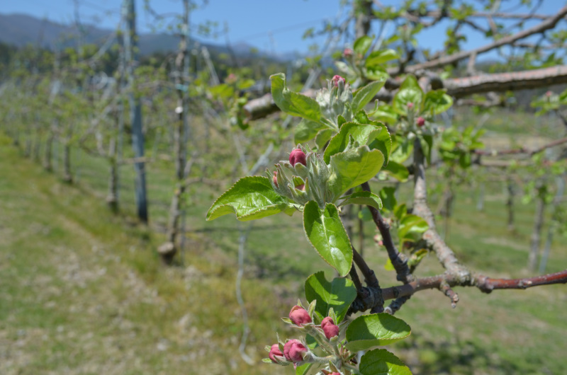 シナノレッドは例年被害が少ないですが開花を待ちます