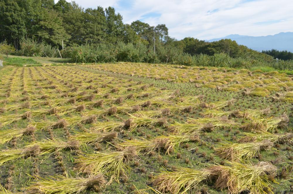刈り取りした稲束