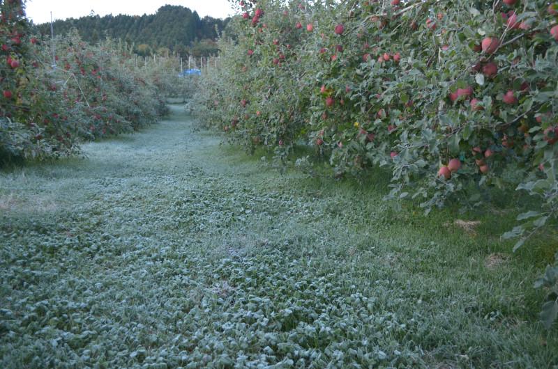 果樹園は霜で真っ白