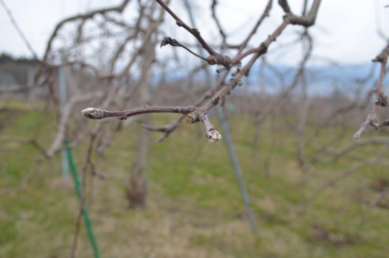サンふじは3月30日発芽