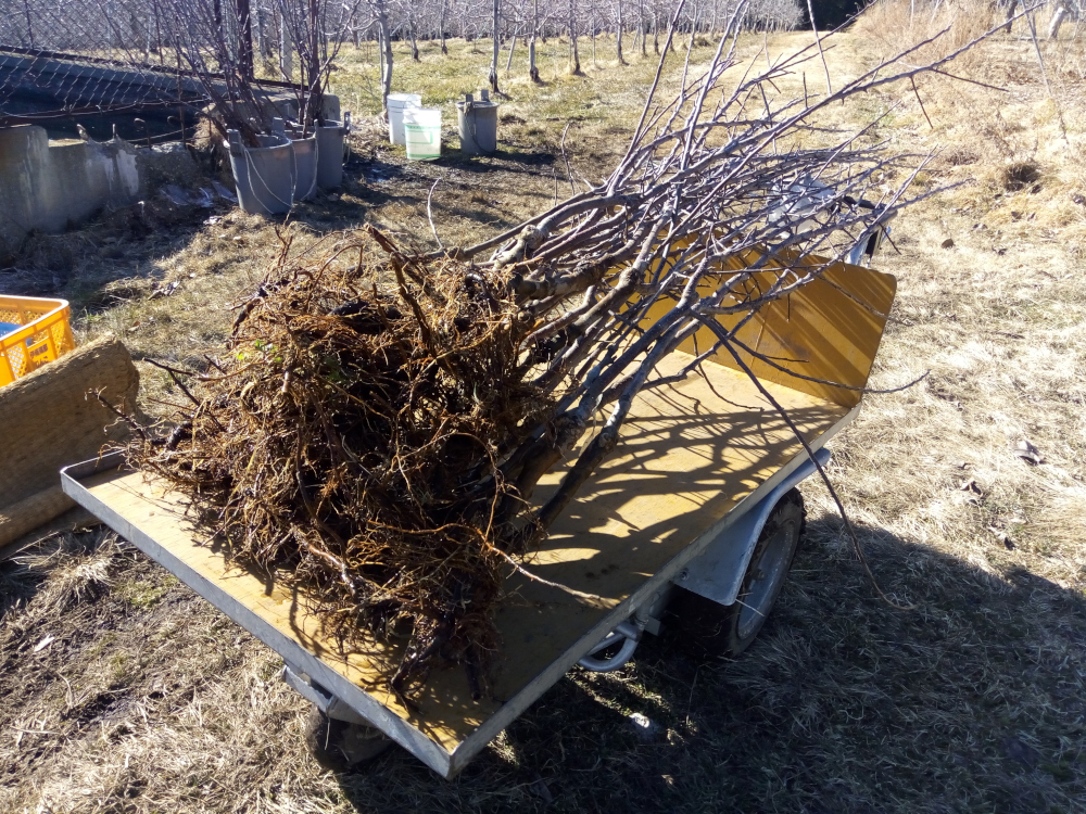 仮植えしてあった苗木を掘り上げました
