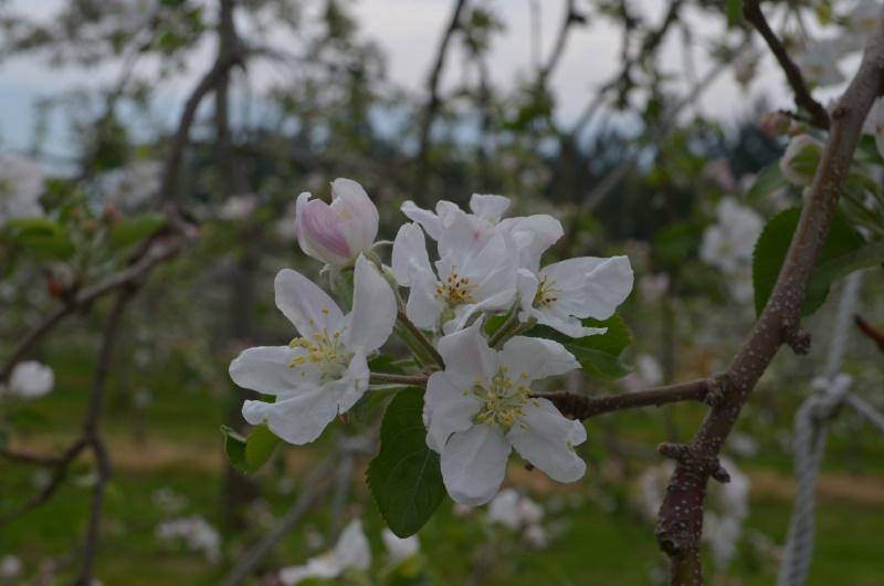 中心花のメシベが変色したサンふじ