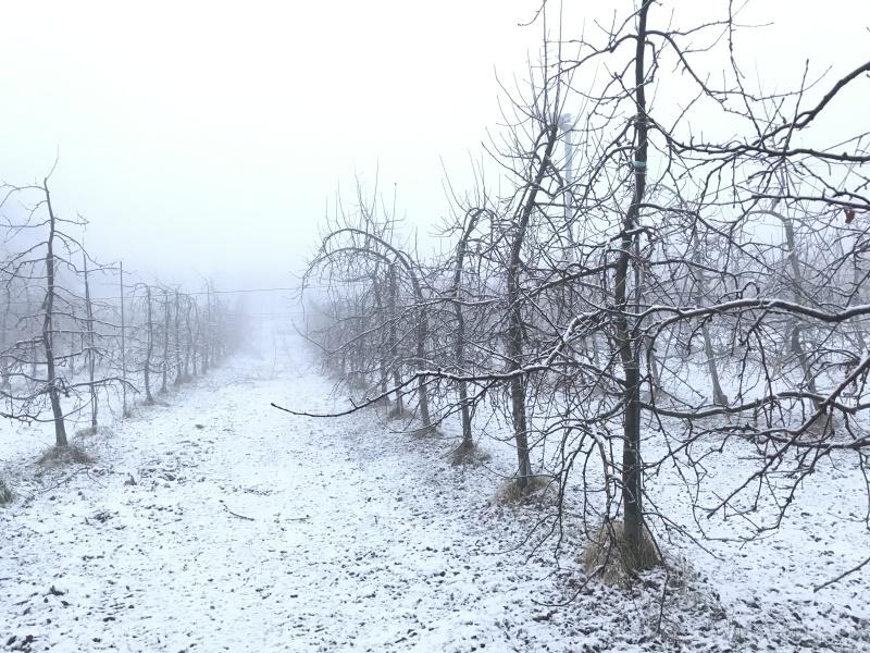 雪と霧で真っ白な世界となった果樹園