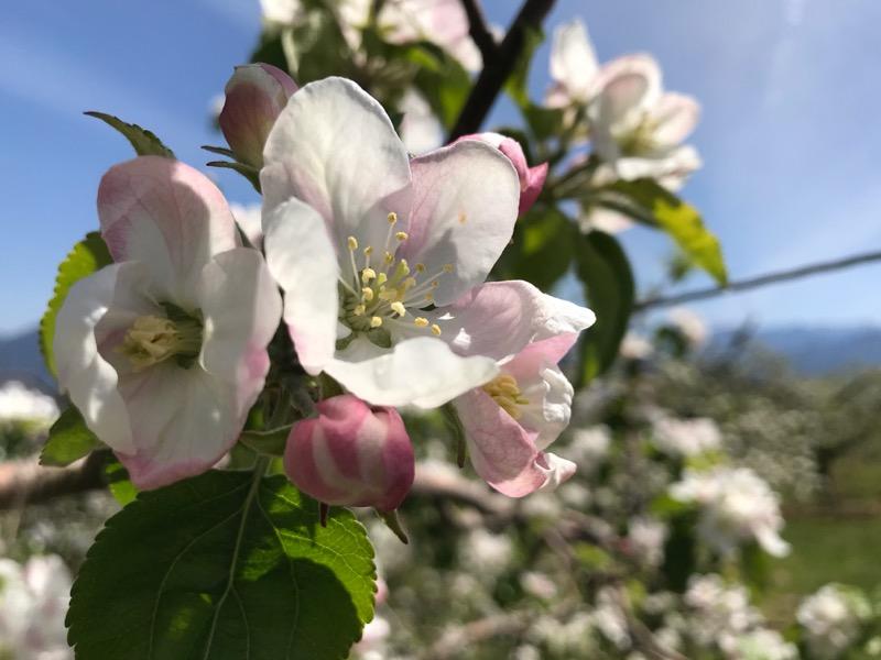 凍霜害を受けず元気に咲くシナノレッド
