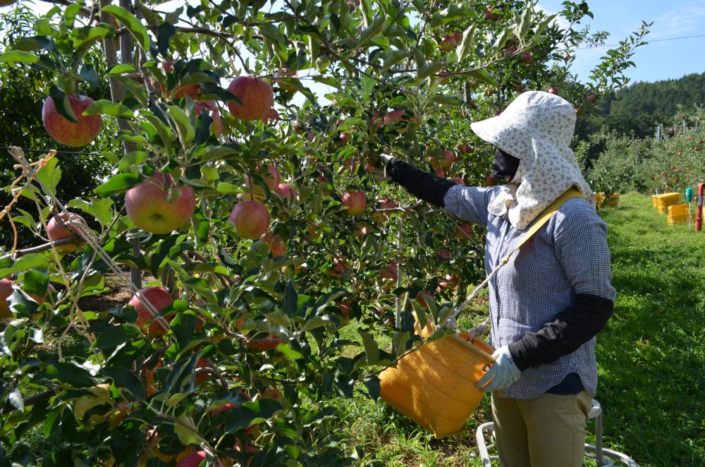 サンつがる完熟果実を選んで収穫します