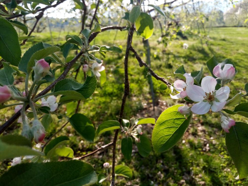 21日サンふじの花に遅霜被害が見られます