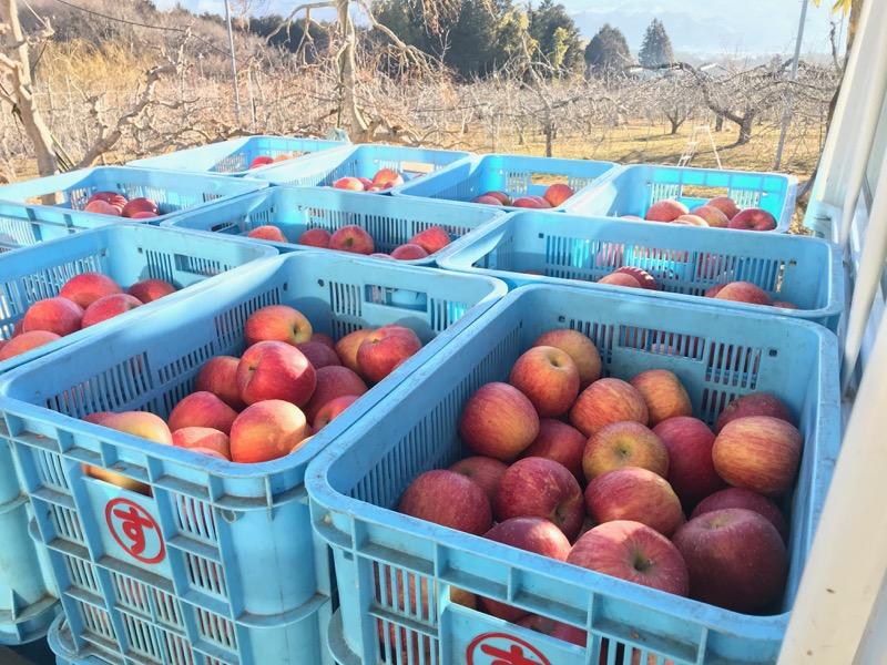 リンゴジュースに加工する2020年産サンふじ
