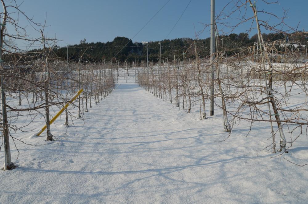果樹園は久しぶりの積雪です