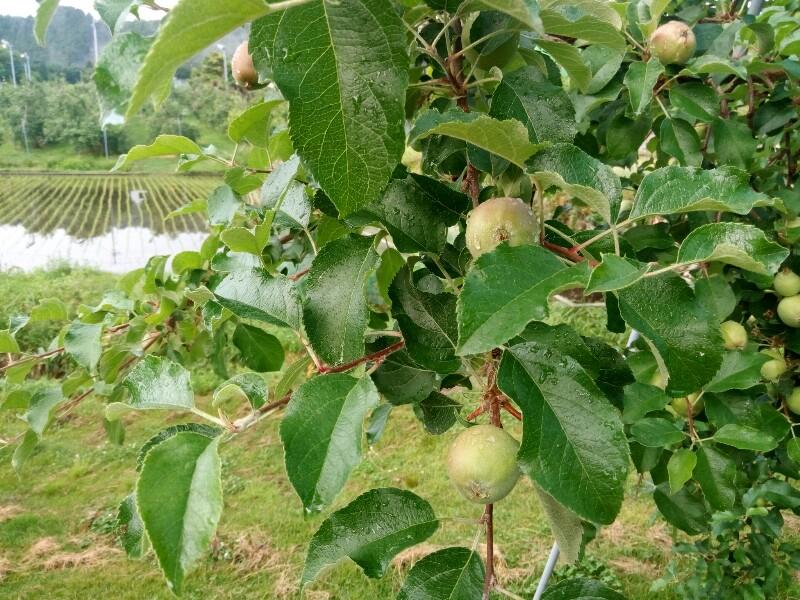 梅雨入りした果樹園