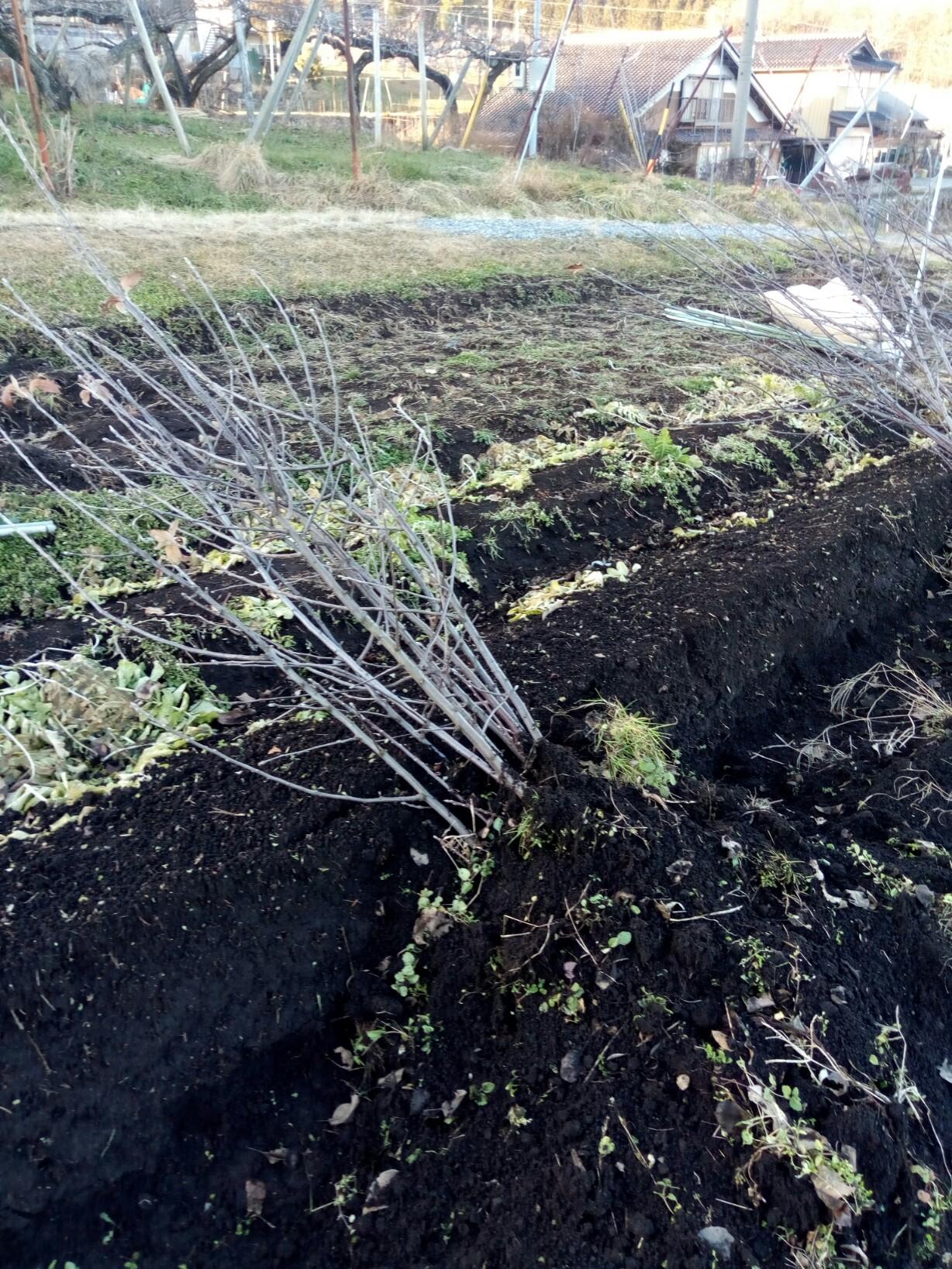 掘り上げた苗木は来春まで畑で仮置きします