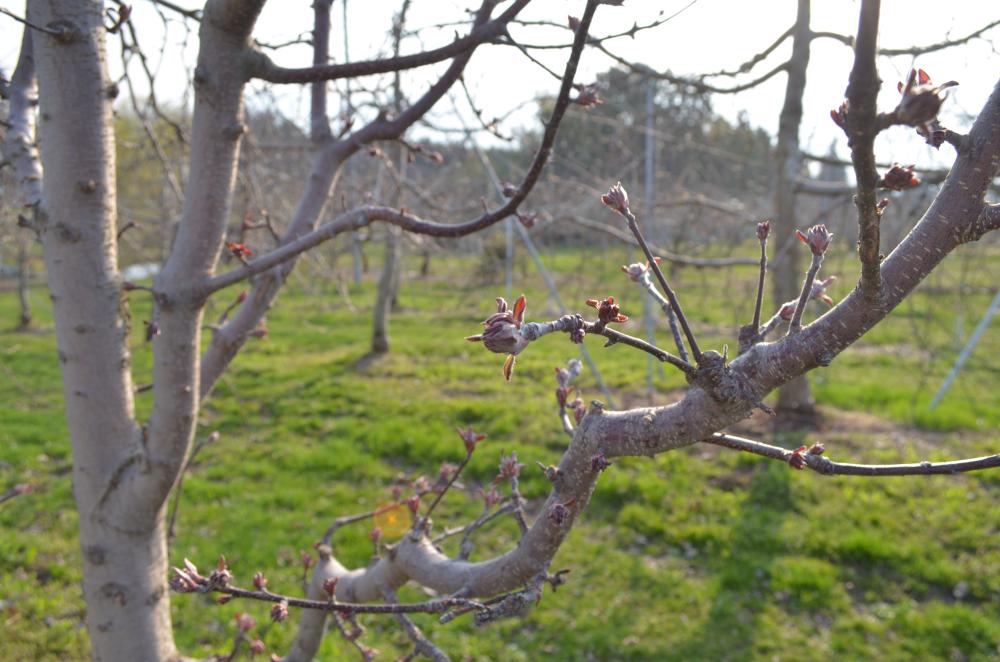 受粉樹メイポール