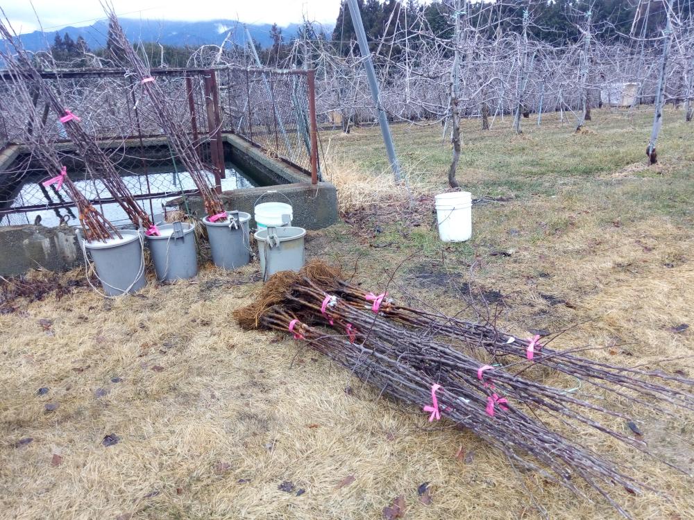 購入した苗木もそろい植えつけ前の消毒作業です