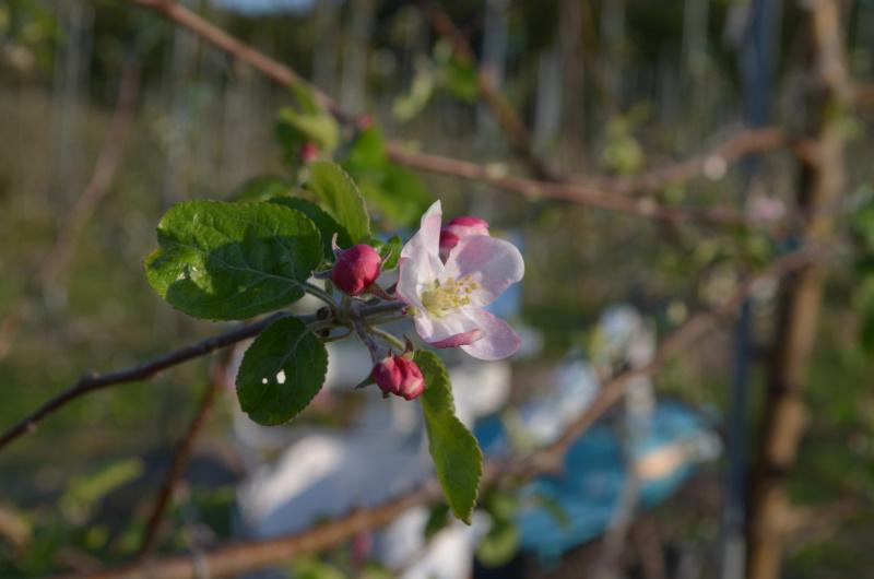 28日開花したシナノリップ