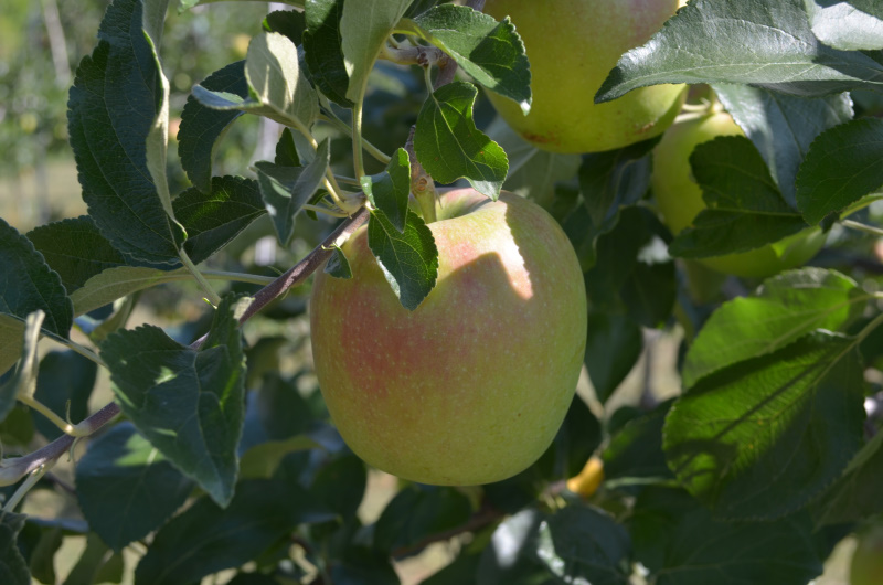りんごの肩がうっすら赤色のシナノレッド