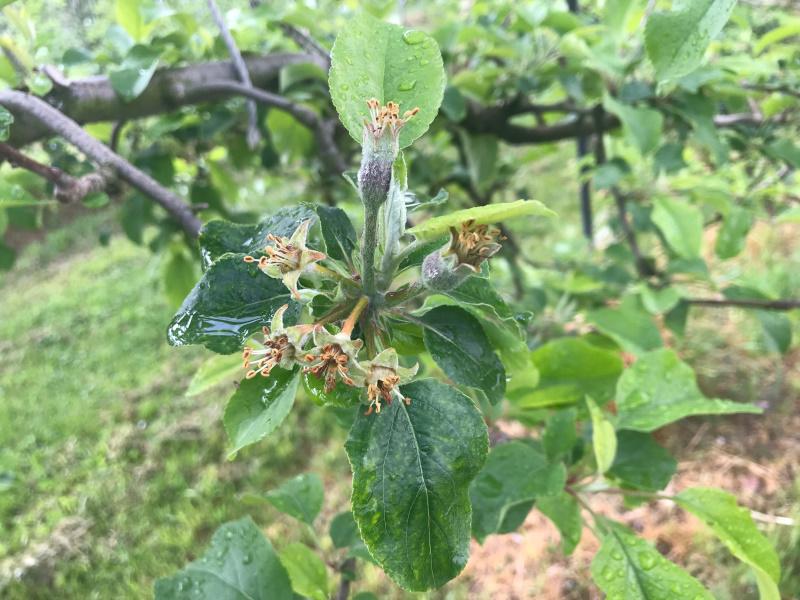 5月17日 2つの花が果実になろうと生育中。他は枯れてしまった。