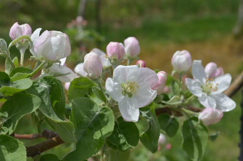 シナノホッペも開花