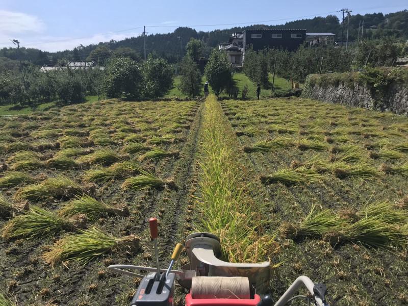 稲刈り後整列した稲束