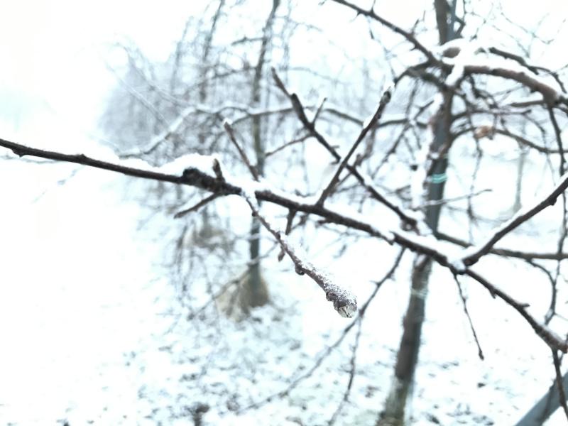 りんご花芽にうっすらと積もる雪