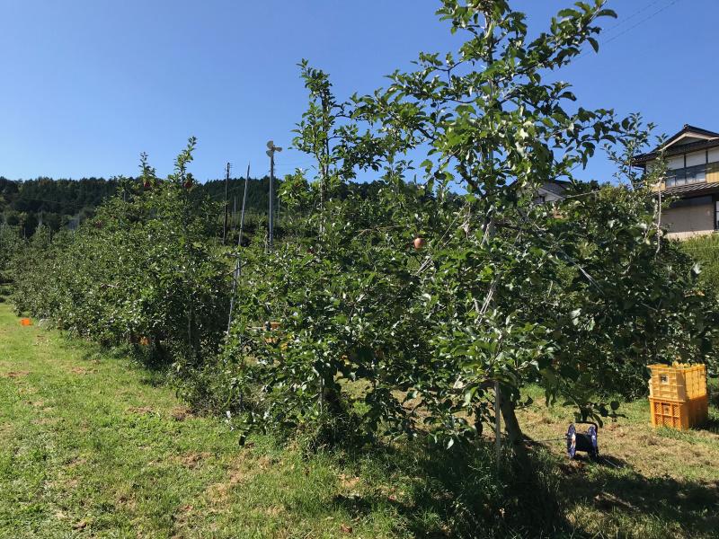 未熟な果実を残して収穫したシナノスイート