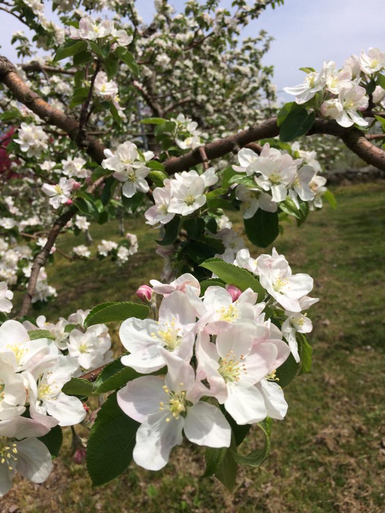 満開となったりんごシナノレッドの花