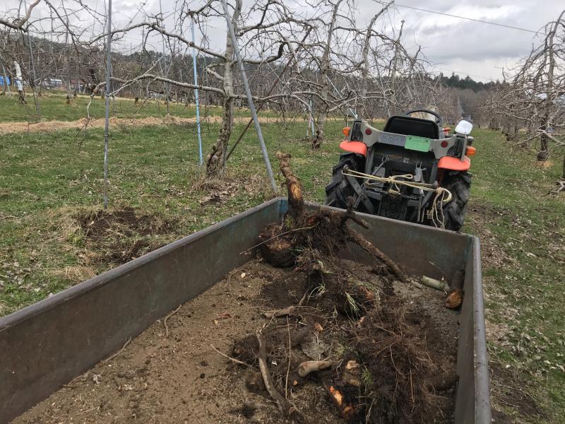 間伐や病気で伐採したりんごの木の根を集める