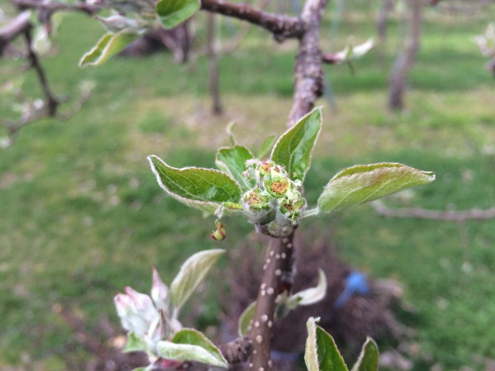 4月12日の低温で花芽が枯れてしまいました。