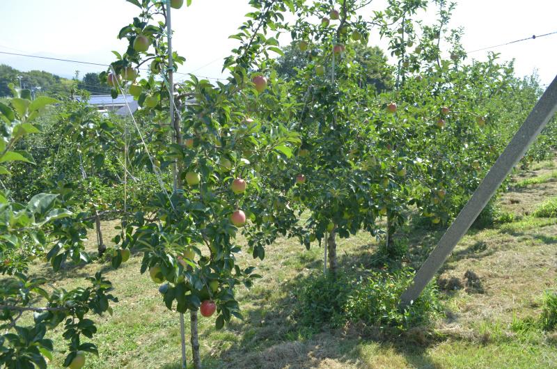 赤い果実が目立ち始めたシナノレッド