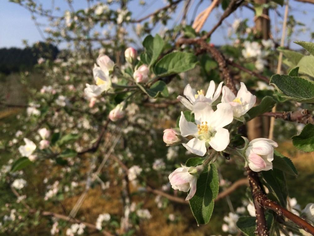 今年のサンふじの花 美味しい果実に育ちました