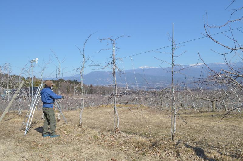 雪の無い果樹園で剪定作業