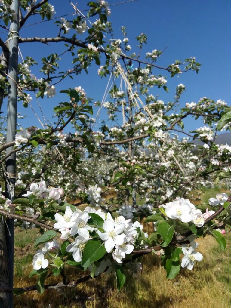 シナノスイートの花