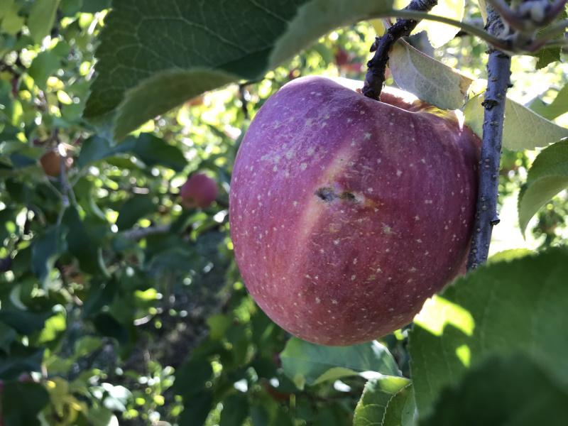 11月12日 大きく育った果実も台風でスレ傷発生