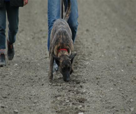 Dakota beim Fährten Teampartner-Hund-Hoya e.V.