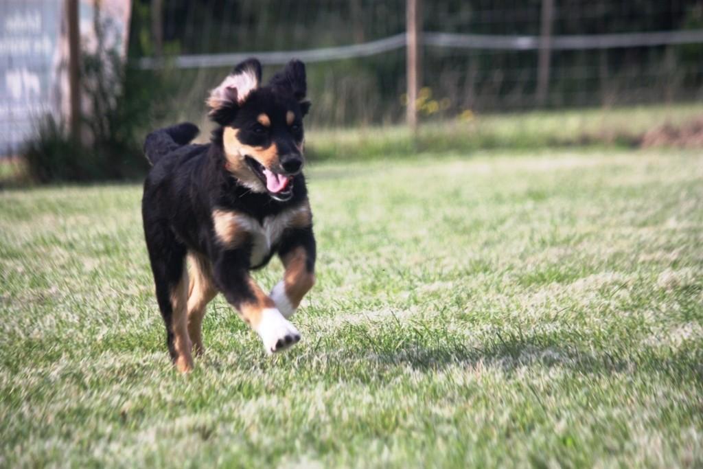 Welpe Teampartner-Hund-Hoya e.V.