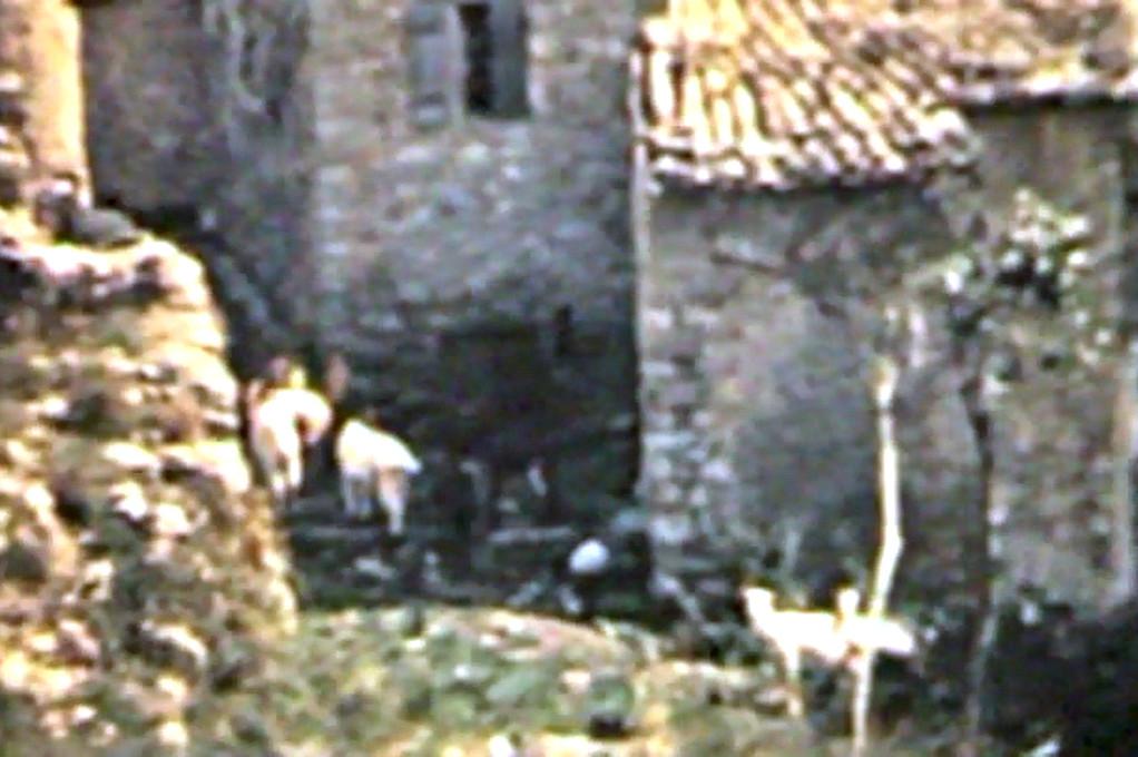 Chèvres dans le village