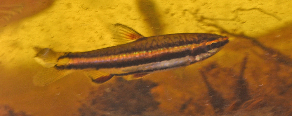 Nannostomus bifasciatus