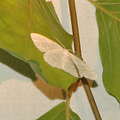 Cabera exanthemata - Bruine grijsbandspanner