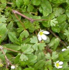 Ranunculus ololeucos - Witte waterranonkel