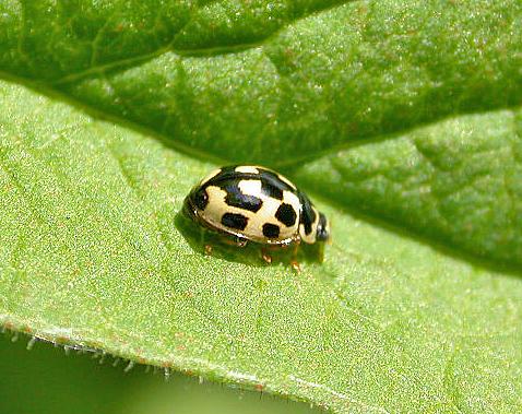 Propylea quatordecimpunctata - Veertienstippelig lieveheersbeestje