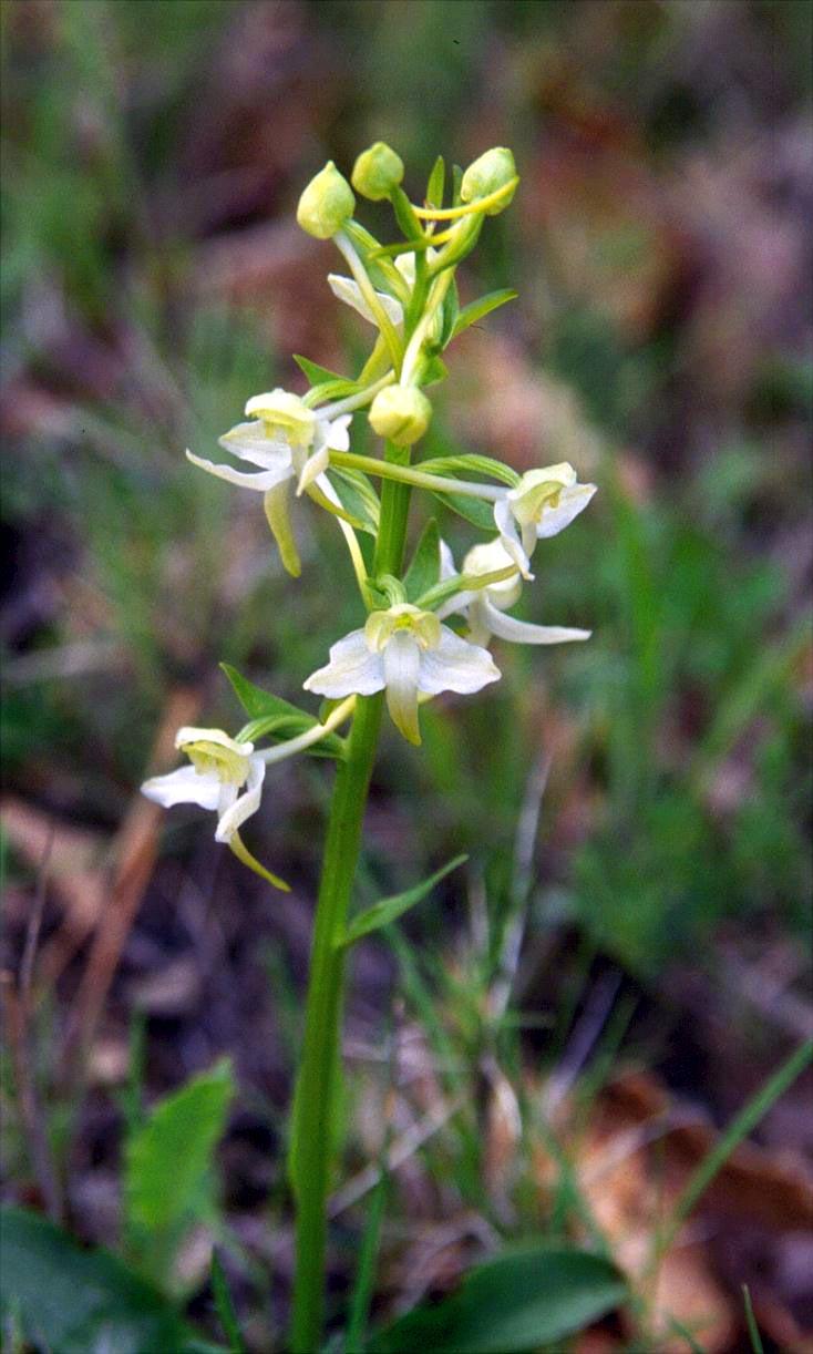 Plantanthera chlorantha - Bergnachtorchis