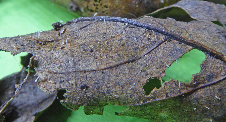 Typhula setipes sl
