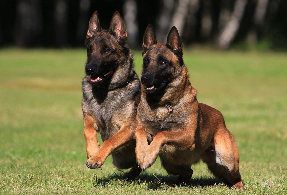 Фото собак породы малинуа