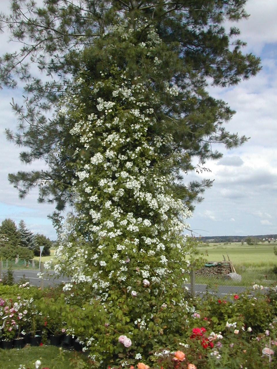 Ramblerrose 'Kiftsgate' in einer Seidenkiefer