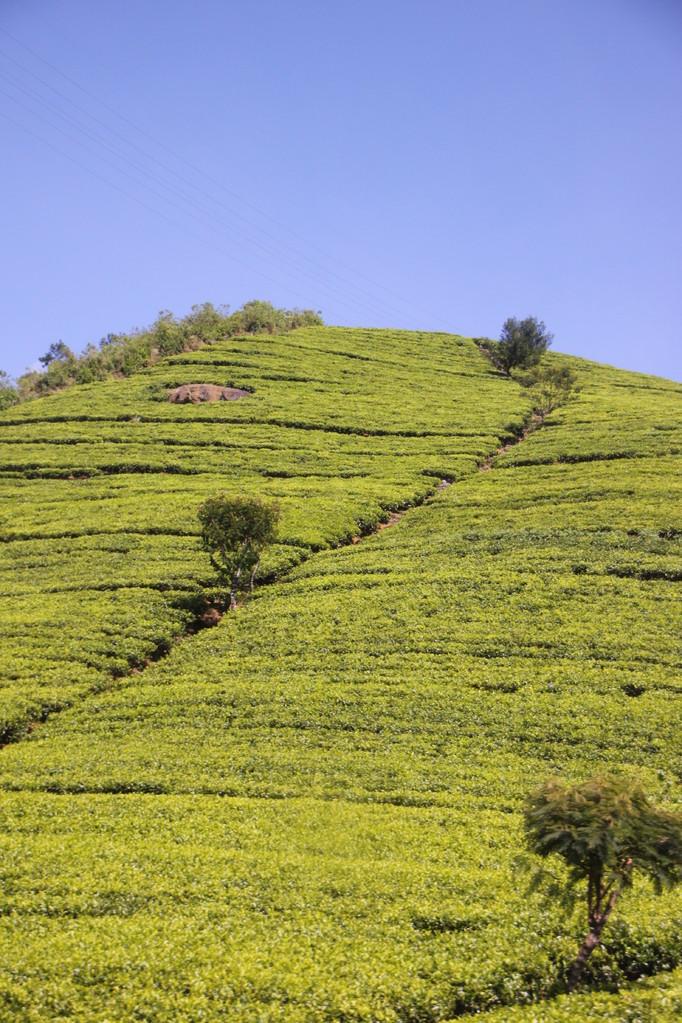 Plantation de thé à NUWARA ELIYA.