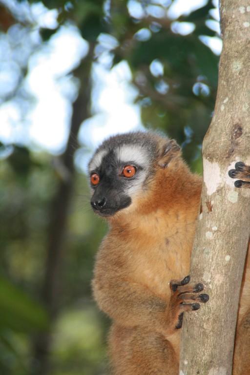 Lémurien dans le parc  d' ISALO.