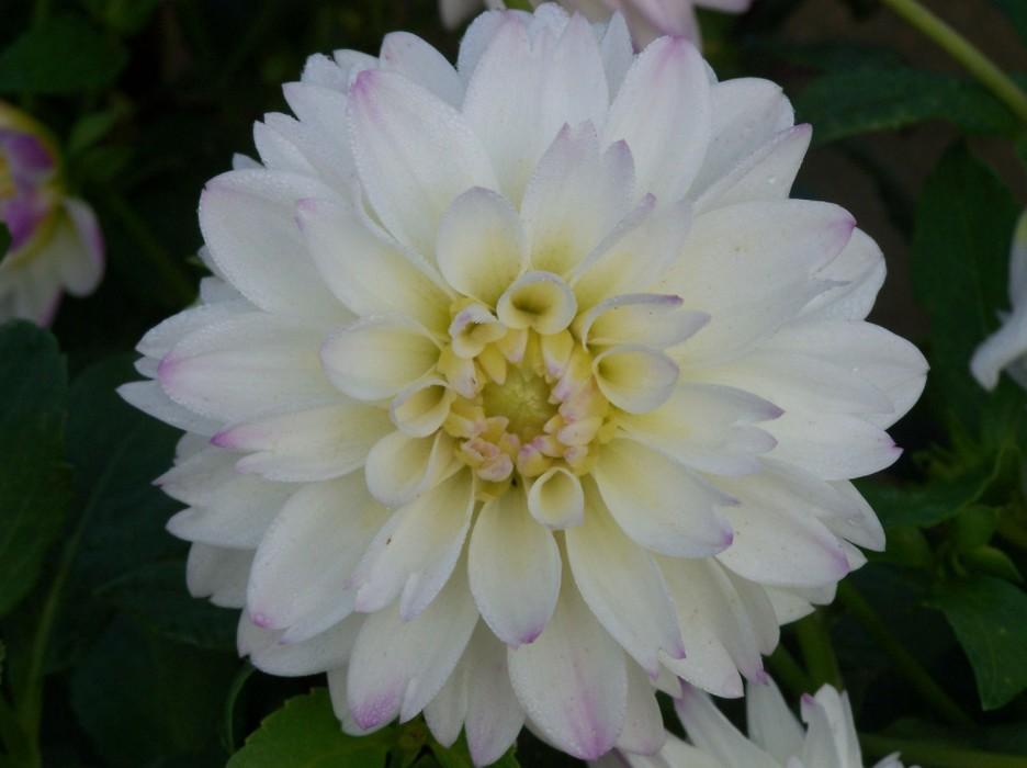 Dahlias à grosses fleurs