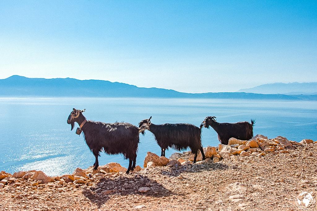 Kri-Kri-Ziegen, Nordküste Kreta Juni 2017