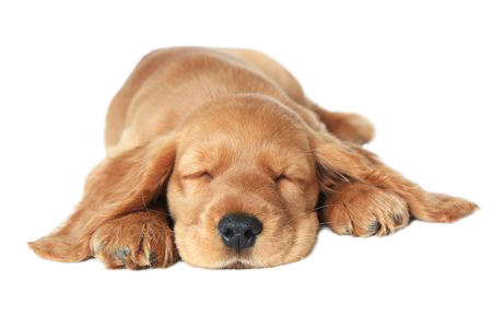 Cocker-Spaniel Welpe auf der Seite Welpen-Rundum-Paket der Hundeschule MOMO - Hundeschule Bremen & Lilienthal